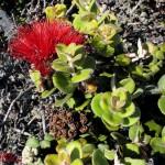 ʻŌhiʻa Blossom