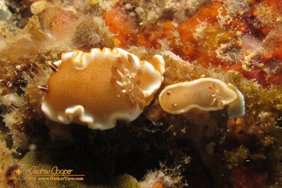 White-margin Nudibranch
