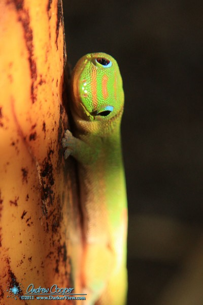 A Gold Dust Day Gecko (Phelsuma laticauda laticauda ) in the house banana patch