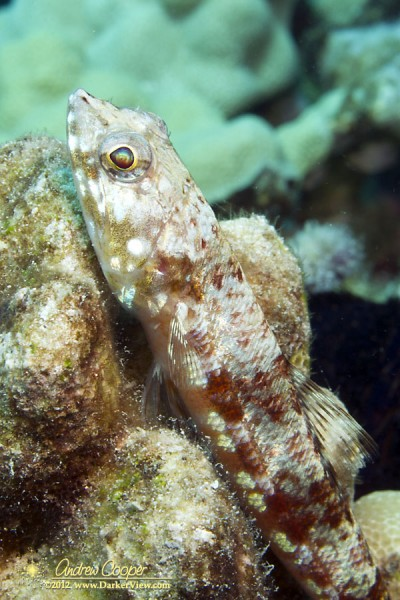 Twospot Lizardfish (Synodus binotatus) at 30ft depth, Puako