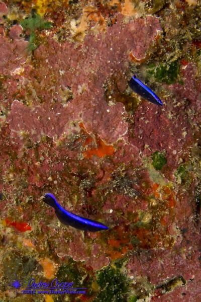 Two juvenile Hawaiian Cleaner Wrasse (Labroides phthirophagus)
