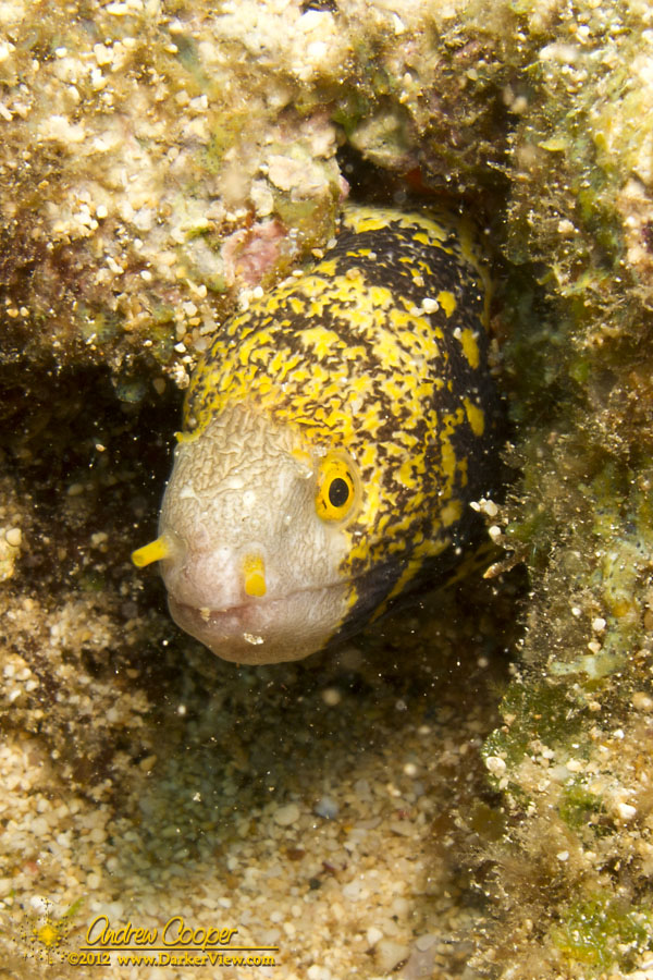 Snowflake Moray