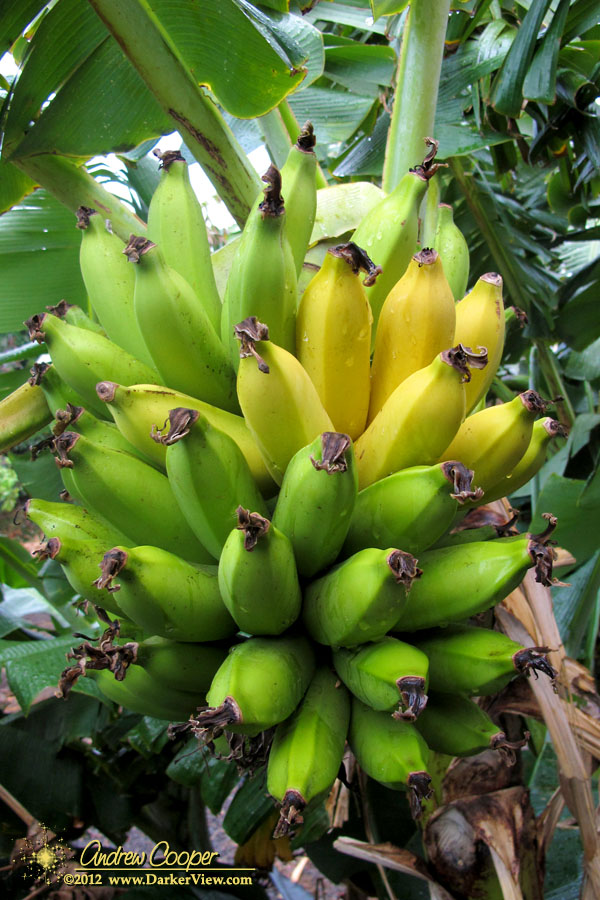 More Bananas