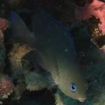 Blue-eye Damselfish