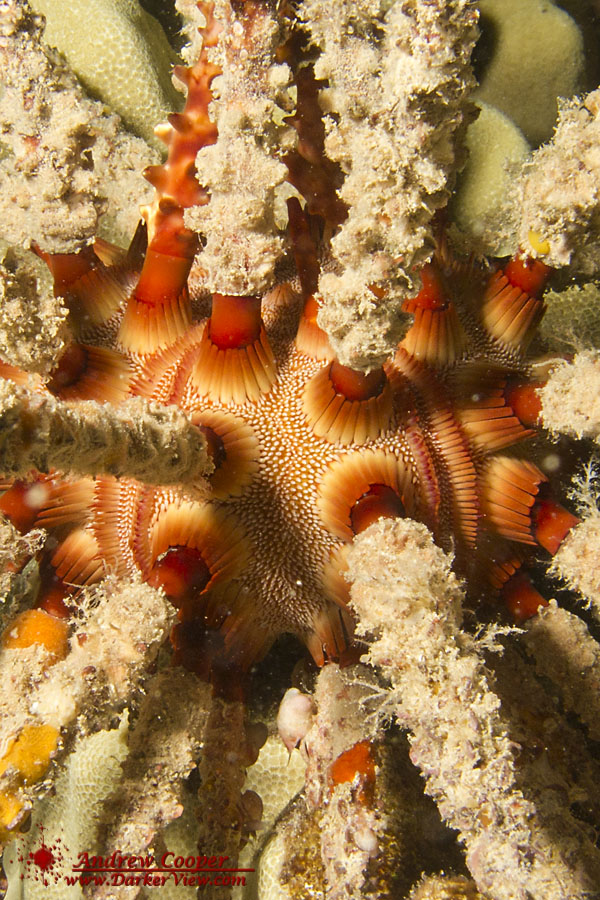 Rough-Spined Urchin