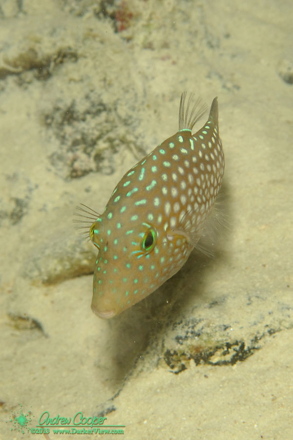 Hawaiian Whitespotted Toby