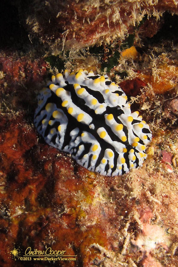 Varicose Nudibranch