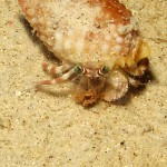 Pale Anemone Crab