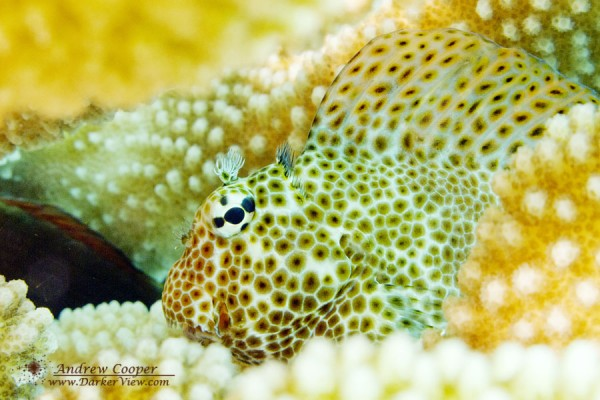 Coral Blenny