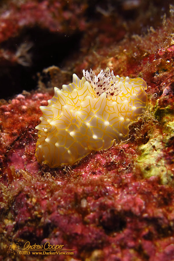 Gold Lace Nudibranch