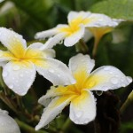 Plumeria in the Rain