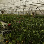 Akatsuka Orchid Gardens Greenhouse