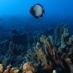 Dascylus Reef