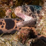 Tiger Snake Moray