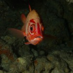 Bluestripe Squirrelfish