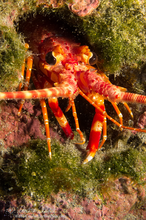 Long-Handed Spiny Lobster