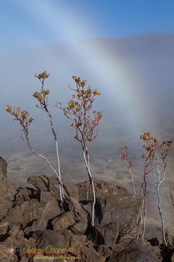ʻŌhelo ʻai in the Fog