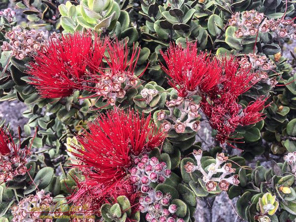 Ohia Blossom