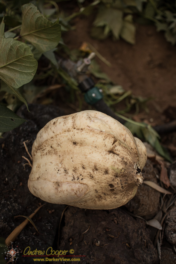 Sweet Potato Tuber