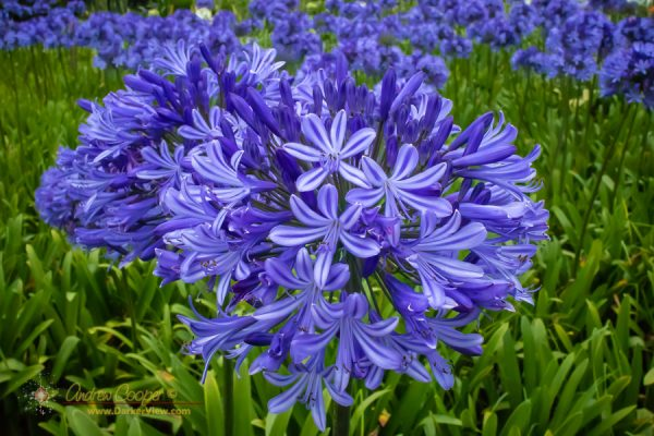 Agapanthus in bloom at Anna's Ranch