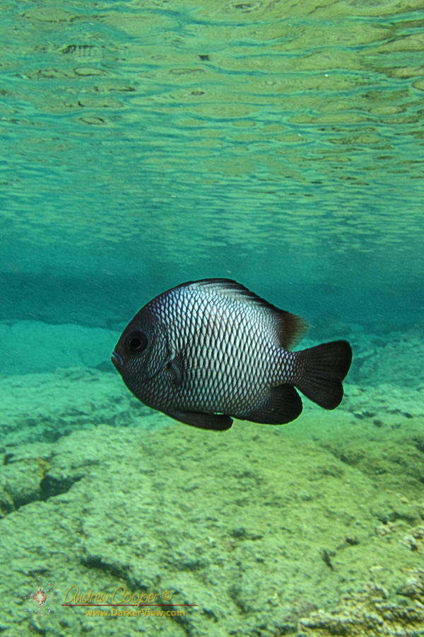 Hawaiian Damselfish (Dascyllus albisella)
