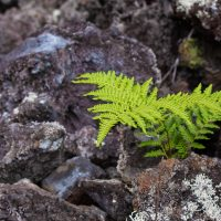 A fern (Microlepia strigosa) growing in an aʻa lava flow along the Puʻu Oʻo Trail