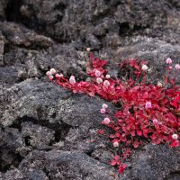 Pink knotweed (Persicaria capitata) in bloom along the Puʻu Oʻo trail