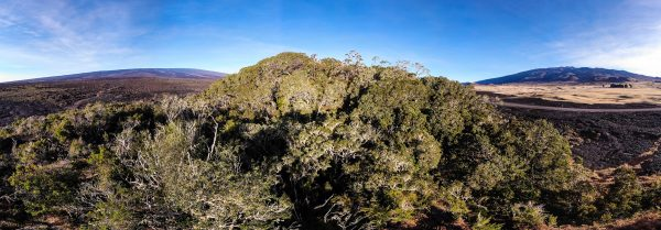 The native forest of Pu'u Huluhulu in the morning Sun