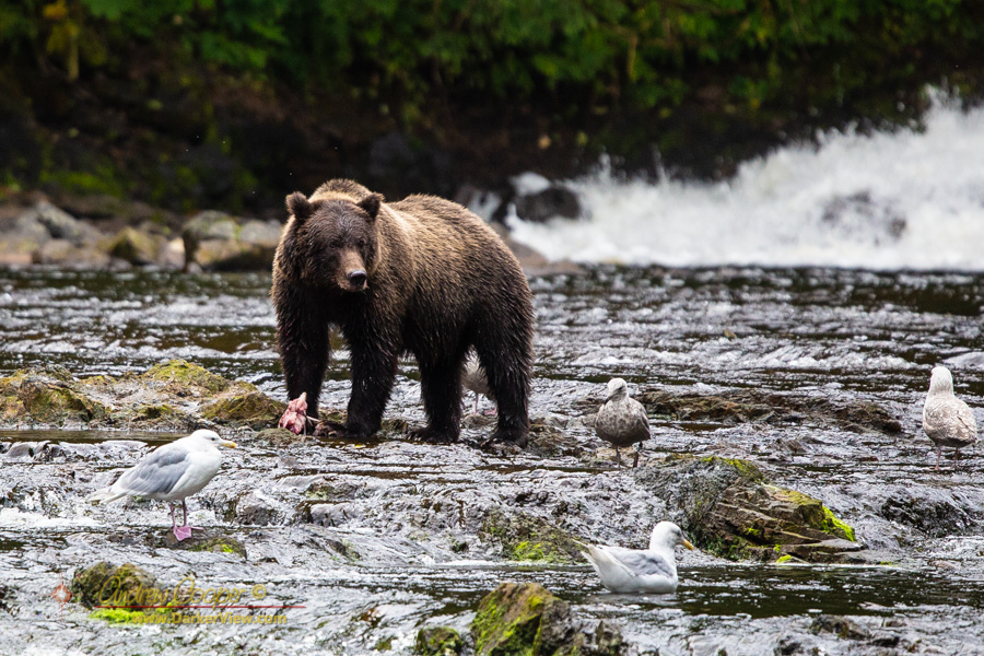 A grizzly bear fishing at Pavlof Harbor