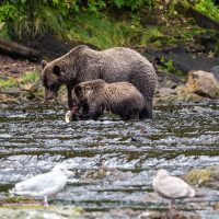 Grizzly bear and cub eating a salmon at Pavlof River