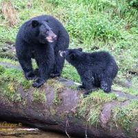 Black Bear and Cub