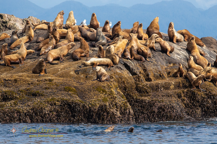 Sea lions in the Storm Islands, Queen Charlotte Sound