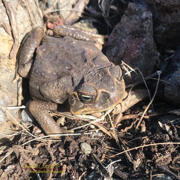 A cane toad (Rhinella marina) found under a rock pile in Waimea