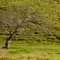 A gnarled yet graceful in the ranch land at Puʻuwaʻawaʻa