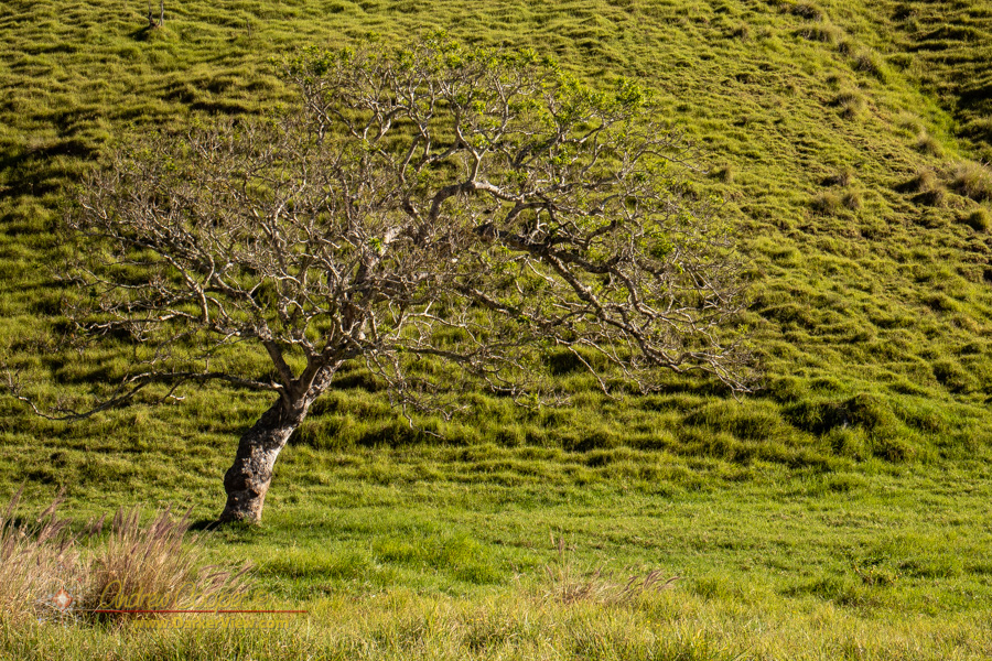 A gnarled yet graceful in the ranch land at Puʻuwaʻawaʻa