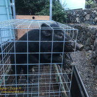 A feral pig trapped and ready for removal
